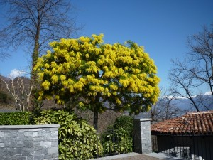 Mimose im Frühling/Mimosa in primavera/mimose in spring