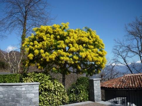 Mimose im Frühling/Mimosa in primavera/mimose in spring