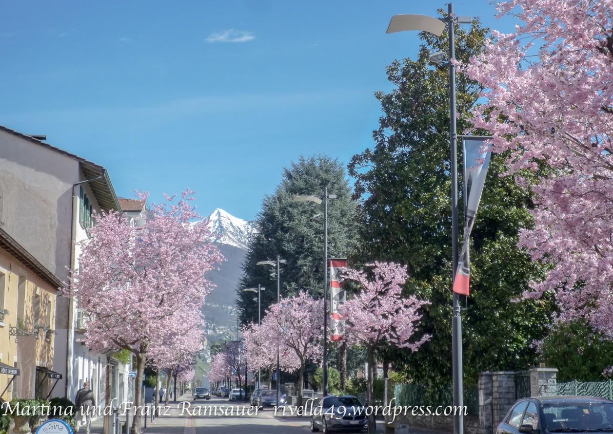 Japanische Kirschenblüte in Ascona