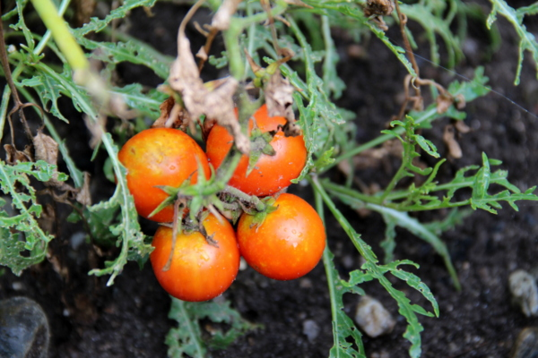 Unsere eigenen Tomaten/Our own tomatoes