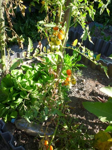 Wir erfreuen uns herrlicher Tomaten!