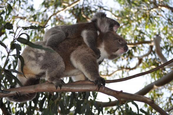 Koalas wählen anscheinend unter hunderten mehr oder weniger gifitiger Eukalyptus-Arten, die aus die ihnen bekommt!