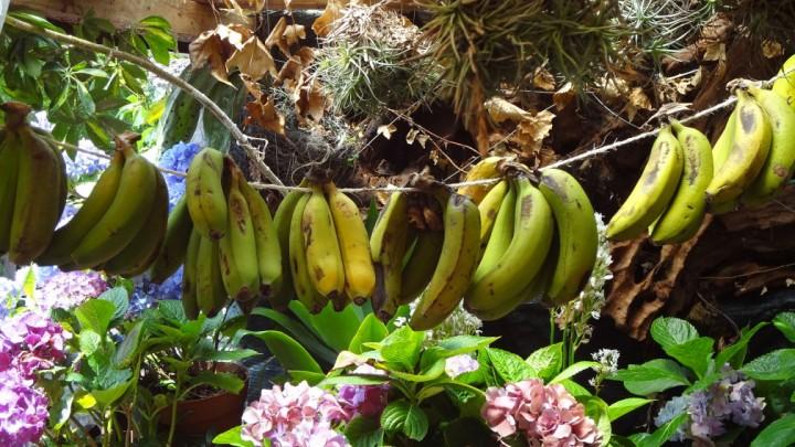 Reife Bananen in Madeira, die aber zu klein sind für den EXPORT!!!
