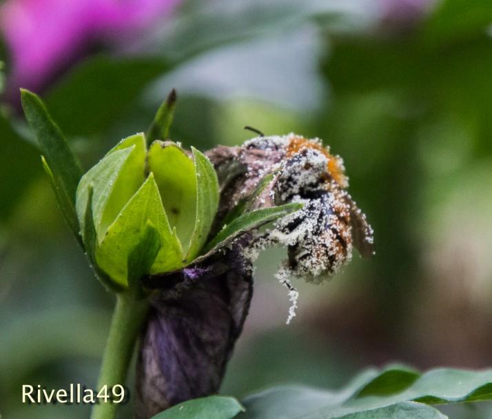 Eine Biene voller Nektar!! A bee full of nectar!! Un ape pieno di nettare