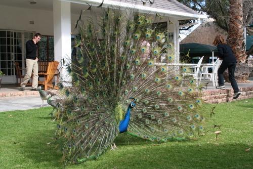 Der Pfau ist absolut der schönste Vogel! The peacock is absolutely the most beautiful bird! Il pavone è il più bello di tutti