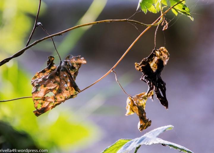 Verwlkte Blätter