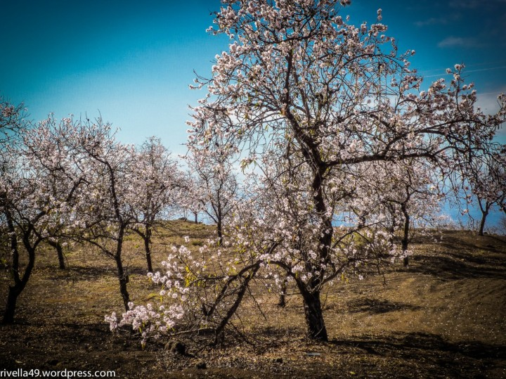 Primavera con i mandorli/Frühling mit Mandelbäumen/Spring with almond trees.