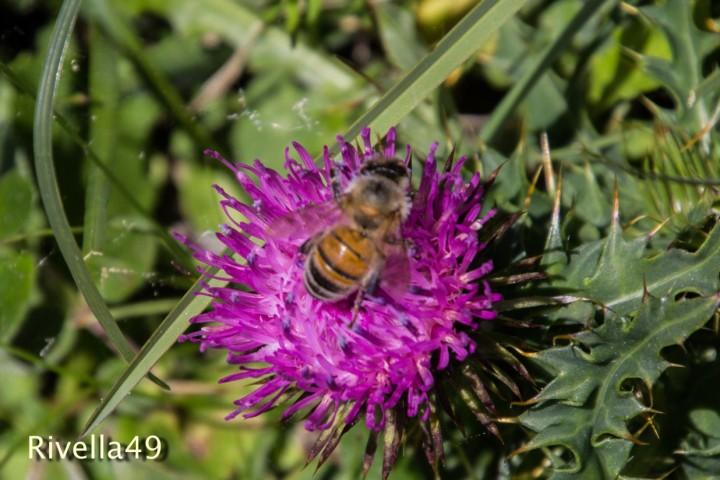 Bienen an der Arbeit/Working bees/api che stanno lavorando