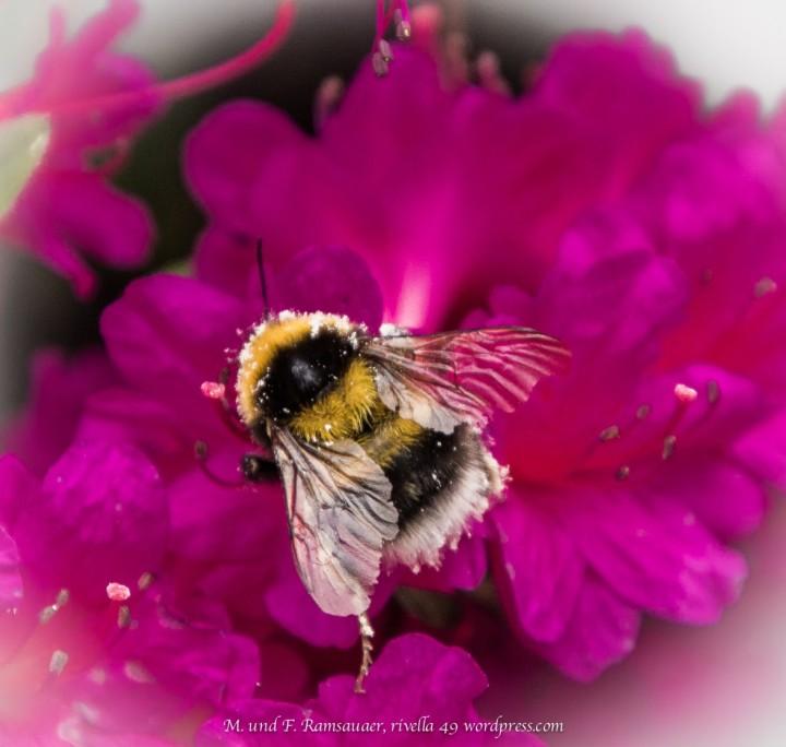 Biene an der Arbeit/Working bee/ape che sta lavorando