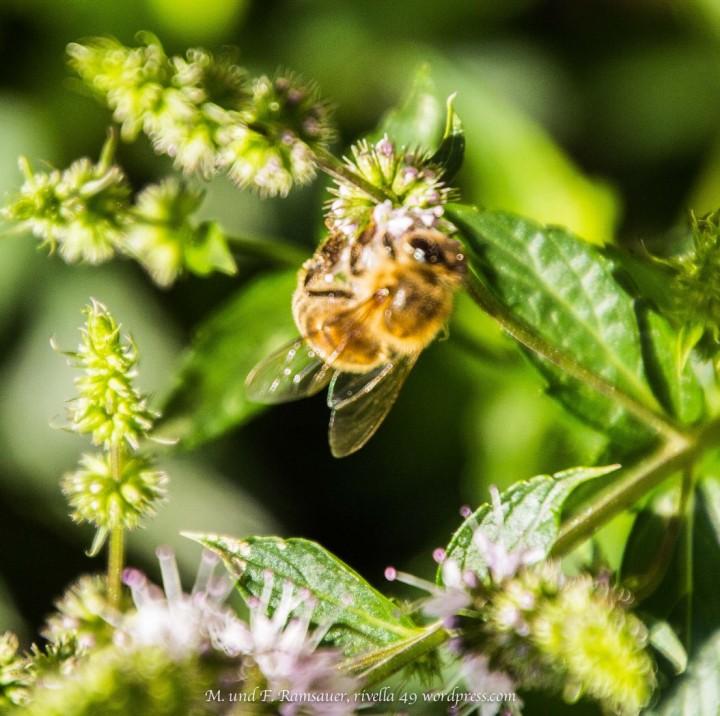 Die Bienen suchen Nektar und die Menschen Ideen! The beer look for nectar and man for ideas. L'ape è in ricerca di nettare e l'esere umano cerca IDEE!
