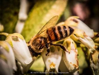 fündig gewordene Biene