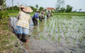Frauen im Reisfeld