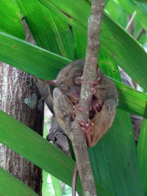 Die Koboldmakis (Tarsiidae) sind eine Familie der Primaten. Es sind kleine, nachtaktive, baumbewohnende Tiere, die auf den südostasiatischen Inseln verbreitet sind.